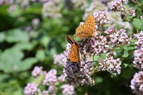 zorgen voor nieuwe vlinders ;-)