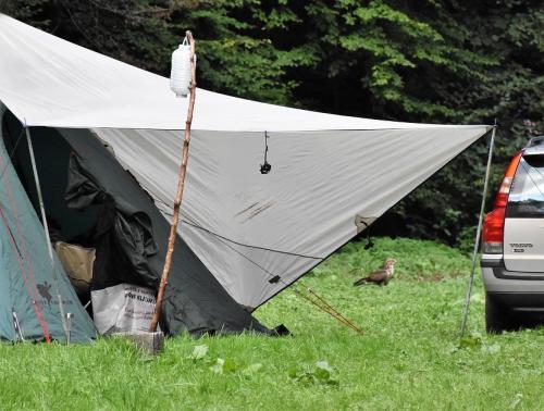 Buizerd geland achter de tent